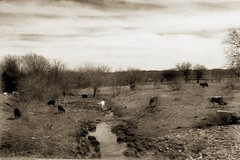 Water {45/365} (therealjoeo) Tags: 365 texas 365project landscape cow sky creek water sepia texture