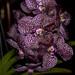 Ascda. Kulwadee Fragrance No27 – Ken Campbell