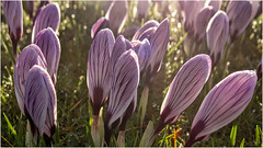 Day 055 A sign of spring (Dominic@Caterham) Tags: spring sunlight flowers crocus backlight grass bokeh
