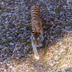 DSC_0067 (Aurmorea) Tags: zoo thoiry lion tiger sunset goldenhours