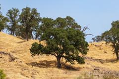 Oak tree. Knights Ferry, CA (Lynn Tweedie) Tags: sigma150600mmf563dgoshsm wood sky knightsferry 7dmarkii tree oak canon