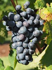 La Motte (Jan-Krux Photography) Tags: capewinelands franschhoek lamotte westerncape westkap southafrica suedafrika afrika africa olympus omd em1 wine wein traube grapes bunch