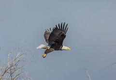 Bald Eagles Klamath Refuge-2.jpg (RaJ-Fr) Tags: bald eagle taking off tree sky klamath refuge
