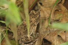 Common African toad Ankasa Conservation Area in Ghana (inyathi) Tags: westafrica ghana commonafricantoad amietophrynusregularis sclerophrysregularis toads amphibians herpetology africananimals rainforests forests ankasaconservationarea africanwildlife nationalpark africa