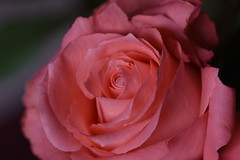 DSC_2773 (PeaTJay) Tags: nikond750 sigma reading lowerearley berkshire macro micro closeups gardens indoors nature flora fauna plants flowers rose roses rosebuds