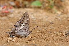 Charaxes solon ssp. sulphureus - Chiang Dao_20180202_1159_DSC_7296_DxO (I love comments but delete awards - Jan F. Rasmuss) Tags: nymphalidae thailand d800 butterfly butterflies macro closeup insecta lepidoptera rhopalocera nikon janfischerrasmussen janfrasmussen asia southeastasia charaxes charaxessolon solon chiangdao chiangmai chiangmaiprovince