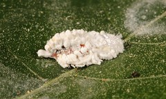 Flatid Planthopper Nymph (Dermoflata sp., Flatidae) (John Horstman (itchydogimages, SINOBUG)) Tags: insect macro china yunnan itchydogimages sinobug entomology canon bug hopper planthopper nymph white flatidae hemiptera