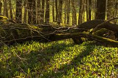 Frühlingsanfang! (Gerosas) Tags: bärlauch bäume frühling frühlingsanfang laubwald makroplanart2100 märz pflanze planar remsmurrkreis remstal sonne unteresremstal waiblingen wald waldboden zeiss