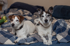 Dogs on a Bed (1) - 63/365 (prestonciere) Tags: 365the2019edition 3652019 day63365 04mar19