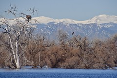Eagle Nest Longs Peak (Chamblin1) Tags: baldeagle colorado spring snow rocky mountains front range wildlife birds raptor of prey pelicans juvenile bald eagle