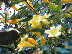 Carolina Jessamine Flowers. (dccradio) Tags: lumberton nc northcarolina robesoncounty outdoor outdoors outside nature natural carolinajessamine flower floral flowers flowering southern beauty beautiful scenic plant yellow yellowflower yellowflowers sky march thursday evening goodevening thursdayevening spring springtime canon powershot a3400is