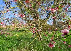 IMG_0030x (gzammarchi) Tags: italia natura pianura campagna ravenna borgomontone albero fiore pesco casa colore rosa