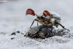Breeding season (Mauro Hilário) Tags: porn reproduction bug invertebrate beetle animal wildlife nature closeup macro portugal melolontha hippocastani cockchafer northern amazing spring insect funny