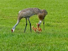 Sandhill Crane Family (WRFred) Tags: florida nature wildlife bird crane young family