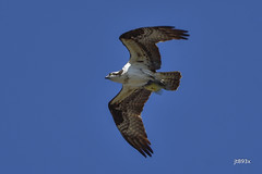 Osprey with fish (jt893x) Tags: 150600mm bif bird d500 fish hawk jt893x nikon nikond500 osprey pandionhaliaetus raptor sigma sigma150600mmf563dgoshsms thesunshinegroup coth alittlebeauty coth5
