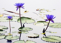 Standing Tall (Steve Taylor (Photography)) Tags: lily waterlily nymphaeaceae minimalism minimalist contrast green purple white black water pond asia city singapore leaves flower