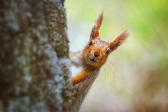 Грызун-очаровашка :) (Nata_Smilyk ッ) Tags: moment момент beautiful красивый nature природа closeup крупныйплан manuallens мануальнаяоптика юпитер37а animal животное forest лесное red рыжая squirrel белка portrait портрет