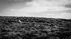 Run for home . . (wayman2011) Tags: colinhart fujifilmxt1 lightroom5 wayman2011 bwlandscapes mono rural dogs doris jackrussels pennines dales teesdale cowgreen countydurham uk