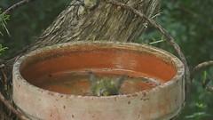 Bathing Firecrest (Geminiature Nature+Landscape Photography Mallorca) Tags: firecrest mallorca bathing badende baño pool bañero birdbath bath vuurgoudhaan regulusignicapilla reyezuelolistado birds aves aus vogels