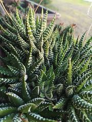 Nature Cactus (amy_a_c) Tags: naturaleza nature cactus