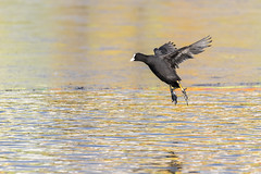 Je vole! - I fly! (bboozoo) Tags: nature animal widlife coot foulque lake lac fly vol bif canon6dii tamron150600 glace ice
