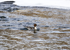Northern Pintail (Swift Wings) Tags: duck northernpintail wildfowl bird nature water outdoors anasacuta