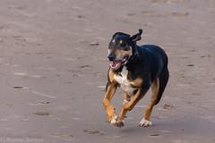 you called? (RCB4J) Tags: ayrshire ayrshirecoast clydecoast firthofclyde irvinebeach rcb4j ronniebarron scotland sony18250mmf3563dtaf sonyslta77v art dogwalkingphotography dogs fun nature photography running sonyalpha wildlife