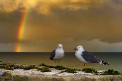 Las gaviotas y el arco iris (Carpetovetón) Tags: arcoiris puerto castrourdiales gaviotaargéntea gaviota nubes nublado cielo paisaje pájaro mar marcantábrico sonya6000