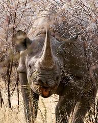 Rino II (Jhaví) Tags: rinoceronte namibia africa wild animal safari wildlife nature