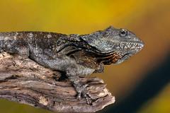 Frilled Lizard, CaptiveLight, Ringwood, Hampshire, UK (rmk2112rmk) Tags: frilledlizard captivelight lizard reptile dof chlamydosaurus kingii herps animal