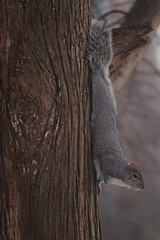 Hanging around (-SOLO--) Tags: shadesofbrown tree squirrel brown smileonsaturday canon 6d