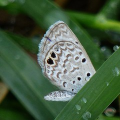 Ceraunus Blue (olliewillo) Tags: lrgv nationalbutterflycenter butterflies gossamerwings blues lepidoptera