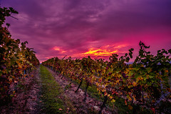 Sunrise over the vineyards of South Moravia (PhotoVision by Pavel Rezac) Tags: agriculture alcohol autumn autumnal background beverage country countryside czech drink europe farm farming field fog fruit grape green grow growing harvest hill industry landscape leaf moravia moravian natural outdoor plant red republic rows rural scenic season southern sun sunrise sunset travel tree valley vegetation vine vineyard viniculture wine winery yellow dambořice southmoravianregion czechrepublic cz