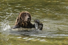 Grizzly Bear playing with a salmon (Guy Lichter Photography - 4.7M views Thank you) Tags: grizzlybears bears bear mammals mammal animals animal wildlife britishcolumbia canada 5d3 canon