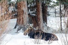 _DW64898.jpg (Upstate Dave) Tags: 2018 moose majorplaces yellowstone mammals yellowstonenationalpark