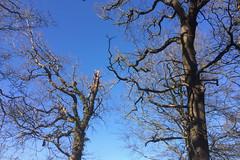 old oaks waiting for the spring (Jos Mecklenfeld) Tags: appleiphone5s netherlands groningen westerwolde terapel meebosch natuur nature bos forest bomen trees eiken oaks