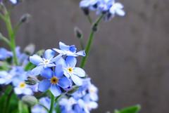 勿忘草/ワスレナグサ/Forget-me-not (takoyu) Tags: 勿忘草 ワスレナグサ flower plant