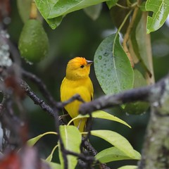 5D4_5415_DPP.Comp2048 (SF_HDV) Tags: canon5dmarkiv canon5dmark4 5dmarkiv 5dmark4 5dm4 puembo bird finch saffronfinch tree avocado avocadotree cloudforest ecuador pichinchaprovince