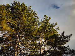 P2250043 (mkreibohm) Tags: evening sun conifer trees sky clouds cloudy hole plants nature winter micro43 microfourthirds