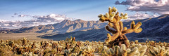 Cholla cactus at Joshua Tree National Park (Randy Durrum) Tags: cholla cactus cacti joshua tree national park sunset mountains clouds durrum samsung s9 plus