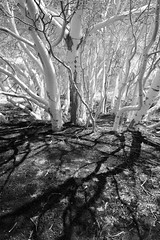 Blackandwhite (memories-in-motion) Tags: black white tree birch lava aetna italy contrast leicaq light etna sicily shadow landscape
