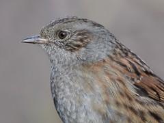 Dunnock Portrait (doranstacey) Tags: nature wildlife birds dunnock kiveton woodland tamron 150600mm portrait nikon d5300