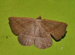 Odd-bod geometrid moth Epidesmia sp  Oenochrominae Geometridae Airlie Beach rainforest P1460905 (Steve & Alison1) Tags: oddbod geometrid moth epidesmia sp oenochrominae geometridae airlie beach rainforest
