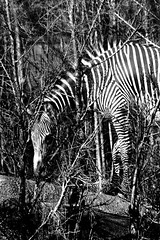 Zebra 06 (RichKD) Tags: detroit zoo winter animals nature canon 5d eos zebra black white light dark shadow baw bw