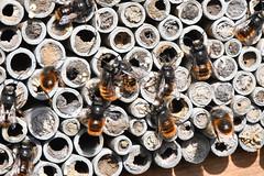 Osmia cornuta 190320 064.jpg (juergen.mangelsdorf) Tags: braunschweig insektenhotel naturschutzgebietriddagshausen niedersachsen nisthilfe weddel wildbiene insect macro nature