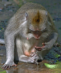 "Thirsty Makake . Monkey Forest (Uhlenhorst) Tags: 2016 indonesia indonesien bali animals tiere ngc "" lovelymotherearth"""