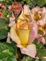 Flor mojada. (Pontius Pilatuss) Tags: flor flores flower flowers rosa rosae clavel nature naturaleza campo agua drop gota colors colores andalucia andalousie andalusia andalusien