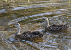 Mottled ducks (wandering tattler) Tags: anas duck dabbler dabbling mottled fulvigula florida waterfowl water swimming 2019