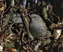 Dunnock 8 5 April 2019 (Tim Harris1) Tags: nikond7100 nikkor80400afs helhoughton norfolk bird dunnock