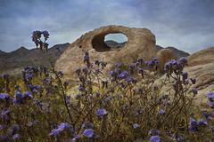 Flowers & Arch (East of 29) Tags: joshuatreenationalpark arch ojooro desert flowers wildflowers eastjoshuatree sliderssunday